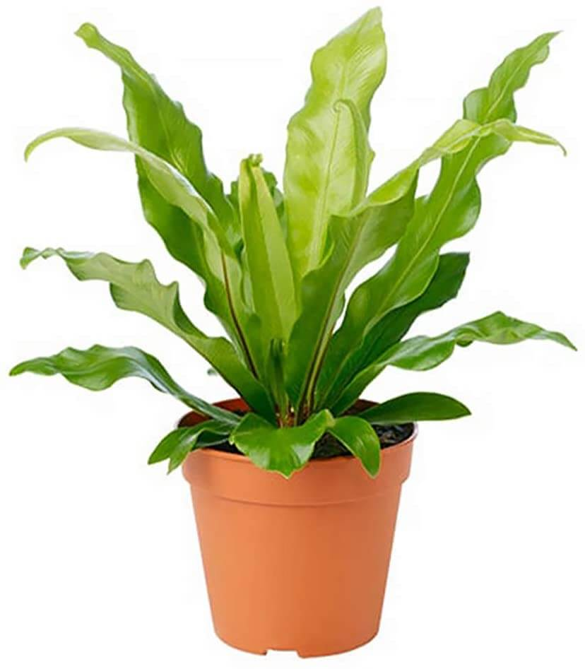 Birds nest fern that can tolerate low light by American Plant Exchange.
