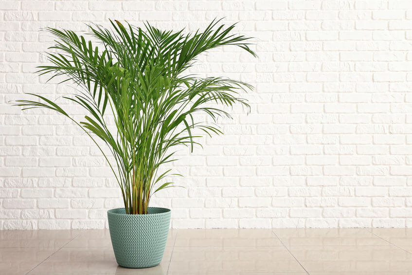 The Areca Palm is a cat-friendly houseplant.