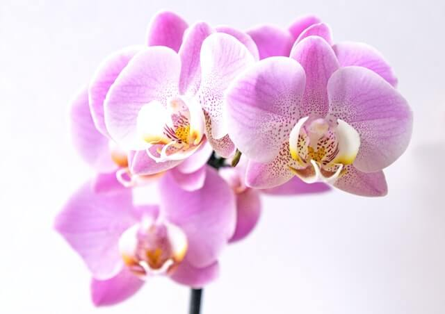 Orchids are a cat-friendly houseplant.