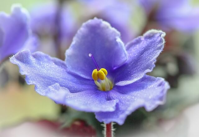 The African Violet is a houseplant safe for cats.