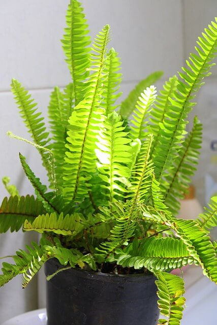 Boston Fern plant that's safe for cats.