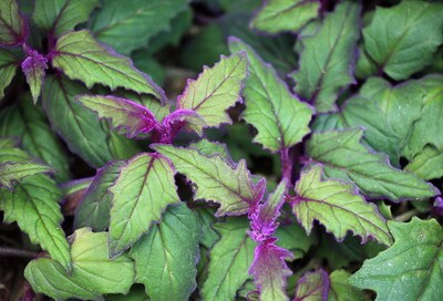 Royal Velvet is a houseplant that is cat-friendly.