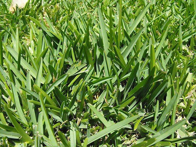 St. Augustine grass is a warm-season grass.