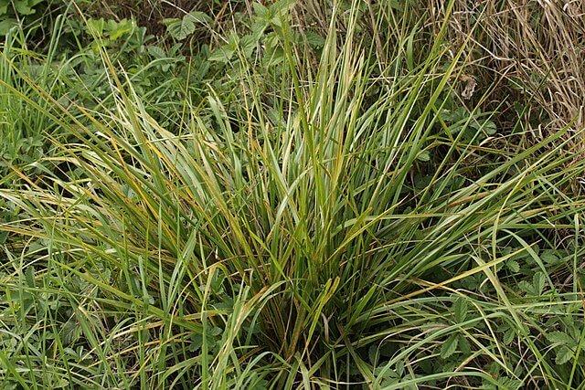 Tall Fescue is a cool-season grass.