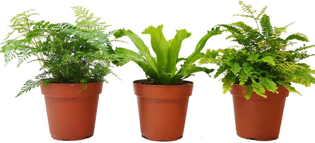 Three fern variety pack that can tolerate low light by House Plant Shop.