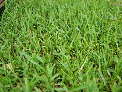 Zoysia grass is a warm-season grass.